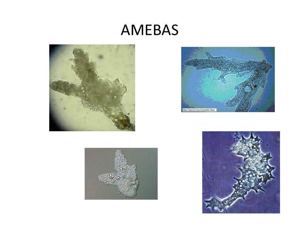 AMEBAS