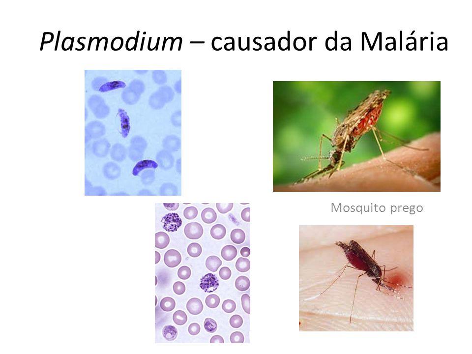 Mosquito prego Plasmodium – causador da Malária