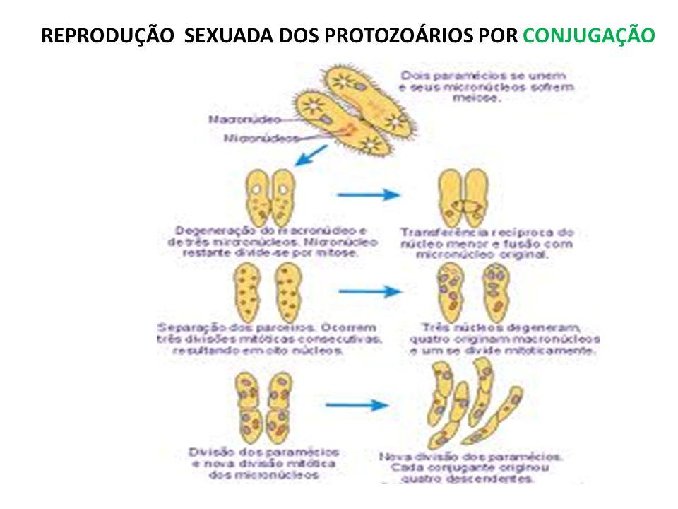 REPRODUÇÃO SEXUADA DOS PROTOZOÁRIOS POR CONJUGAÇÃO