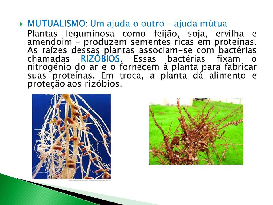MUTUALISMO: Um ajuda o outro – ajuda mútua Plantas leguminosa como feijão, soja, ervilha e amendoim – produzem sementes ricas em proteínas. As raízes