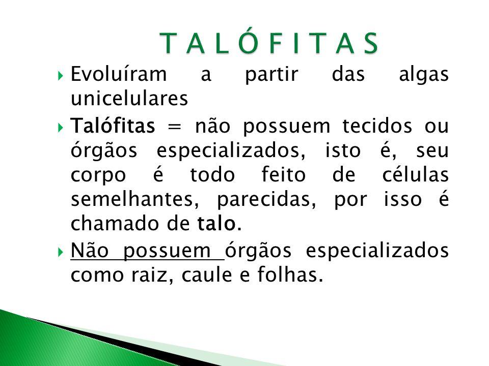 Evoluíram a partir das algas unicelulares Talófitas = não possuem tecidos ou órgãos especializados, isto é, seu corpo é todo feito de células semelhantes, parecidas, por isso é chamado de talo.