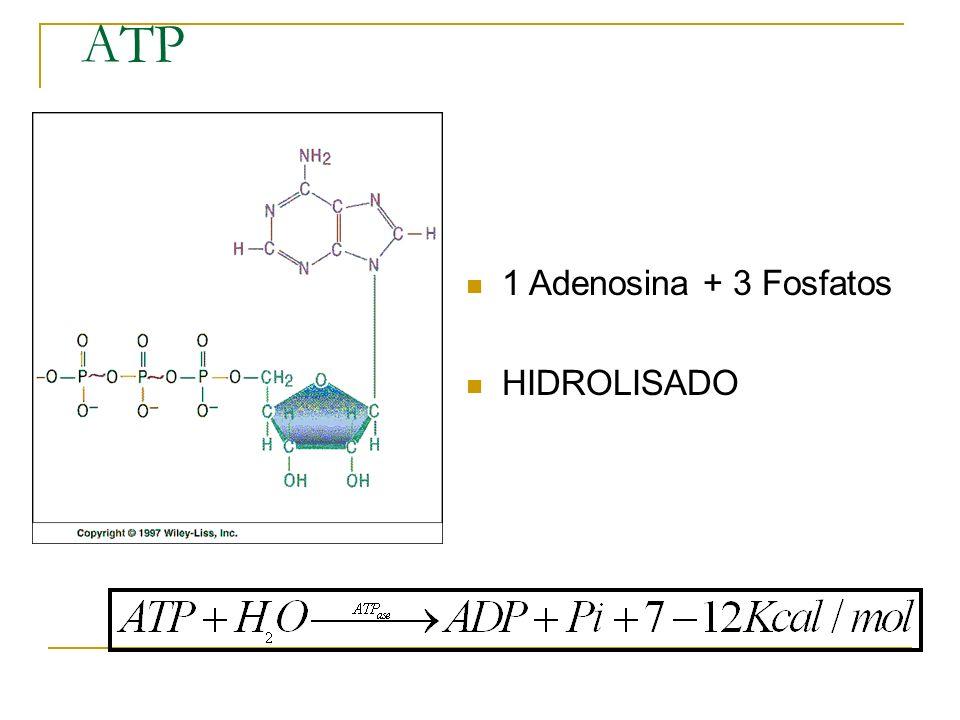 ATP 1 Adenosina + 3 Fosfatos HIDROLISADO