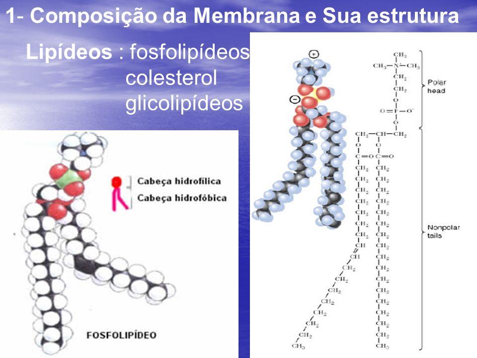 1- Composição da Membrana e Sua estrutura Lipídeos : fosfolipídeos colesterol glicolipídeos