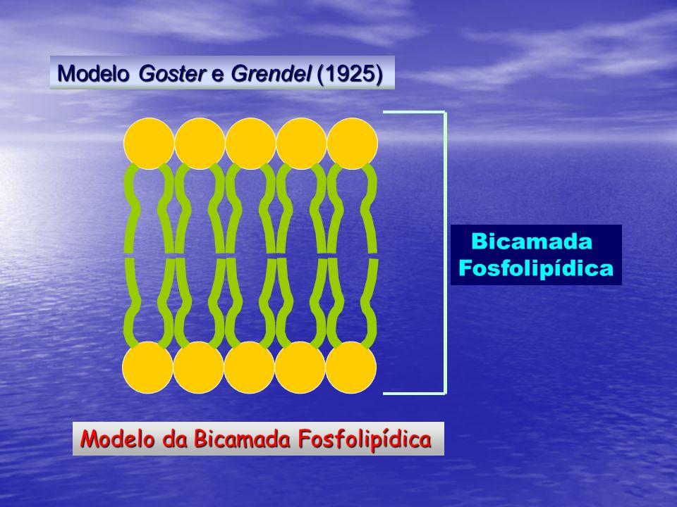 Modelo da Bicamada Fosfolipídica Bicamada Fosfolipídica Modelo Goster e Grendel (1925)