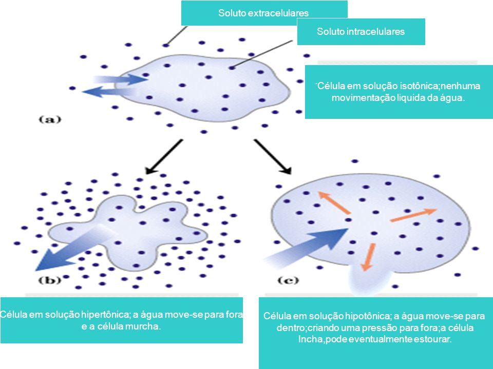 Soluto extracelulares Soluto intracelulares ´ Célula em solução isotônica;nenhuma movimentação liquida da água.