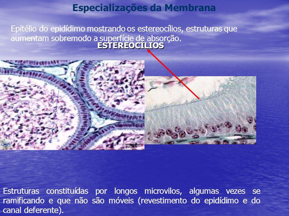 Estruturas constituídas por longos microvilos, algumas vezes se ramificando e que não são móveis (revestimento do epidídimo e do canal deferente).
