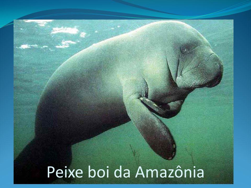Peixe boi da Amazônia