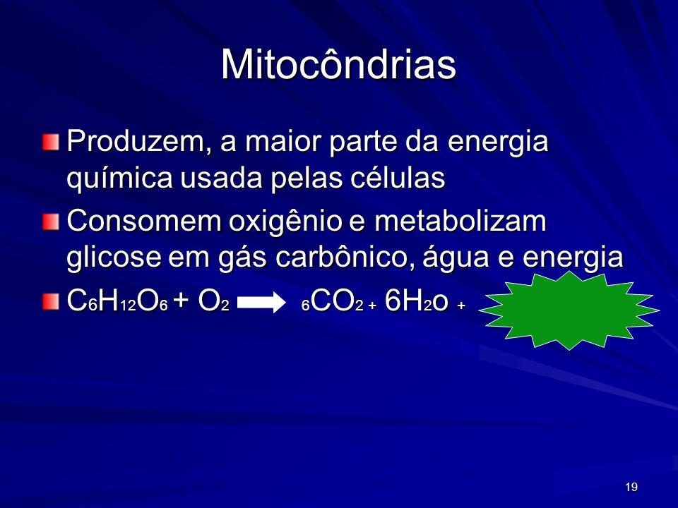 19 Mitocôndrias Produzem, a maior parte da energia química usada pelas células Consomem oxigênio e metabolizam glicose em gás carbônico, água e energi