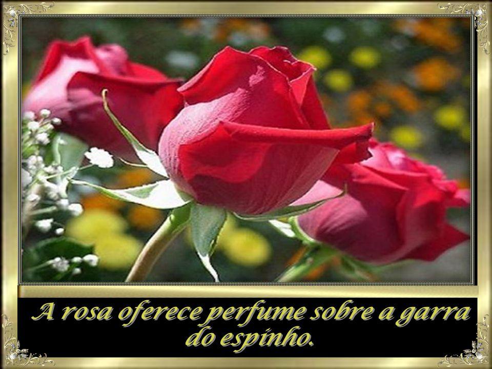 A rosa oferece perfume sobre a garra do espinho. A rosa oferece perfume sobre a garra do espinho.