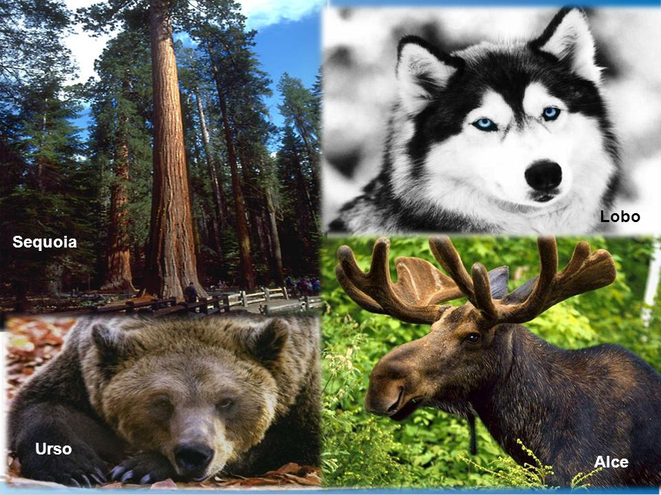 Sequoia Urso Lobo Alce