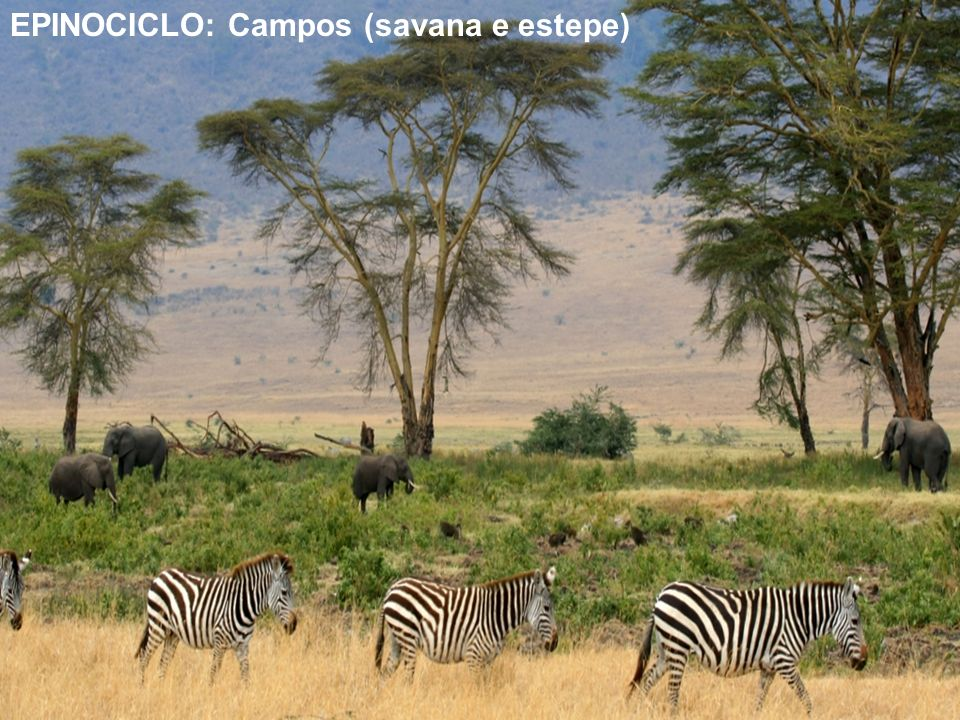 EPINOCICLO: Campos (savana e estepe)