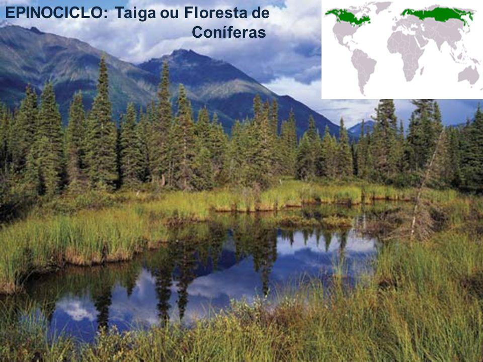 EPINOCICLO: Taiga ou Floresta de Coníferas