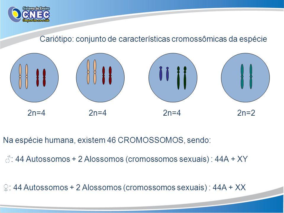 Cariótipo: conjunto de características cromossômicas da espécie 2n=4 2n=4 2n=4 2n=2 Na espécie humana, existem 46 CROMOSSOMOS, sendo: : 44 Autossomos