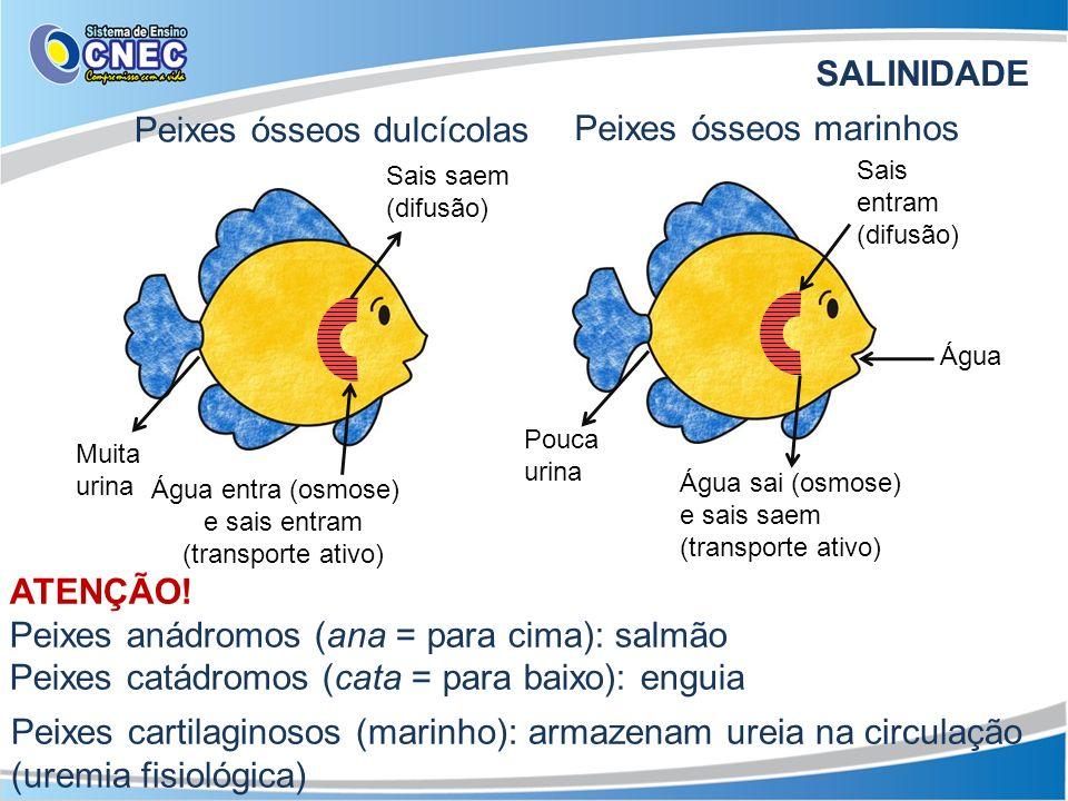 SALINIDADE Peixes ósseos dulcícolas Sais saem (difusão) Água entra (osmose) e sais entram (transporte ativo) Muita urina Peixes ósseos marinhos Sais e