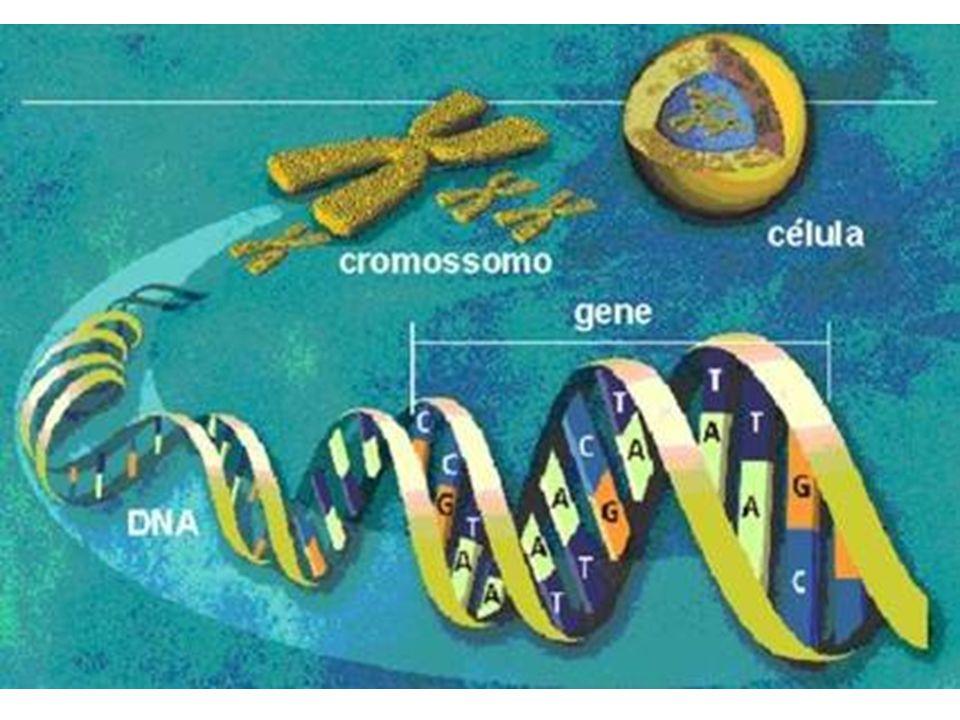 Cromossomos de uma célula somática em divisão de uma mulher, fotografados depois da replicação e condensação.