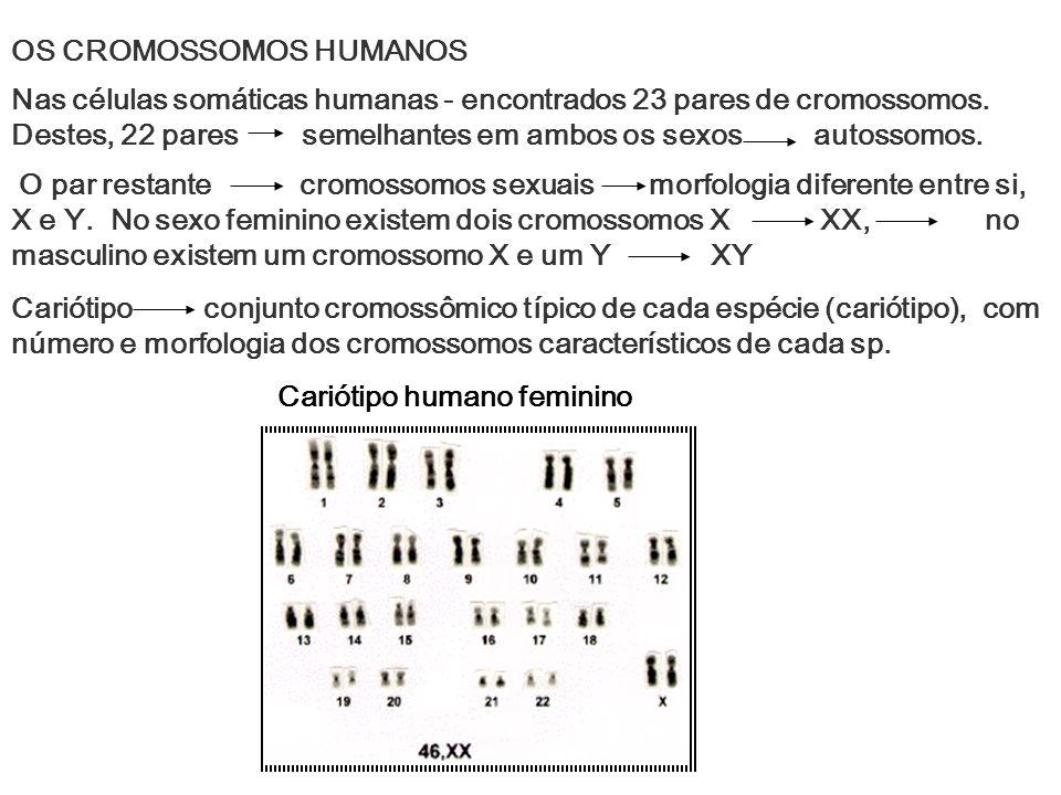 OS CROMOSSOMOS HUMANOS Nas células somáticas humanas - encontrados 23 pares de cromossomos. Destes, 22 pares semelhantes em ambos os sexos autossomos.