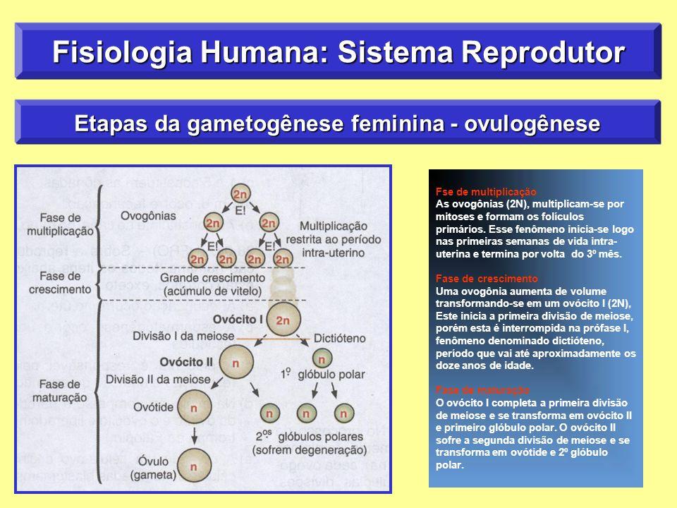 Fisiologia Humana: Sistema Reprodutor Etapas da gametogênese feminina - ovulogênese Fse de multiplicação As ovogônias (2N), multiplicam-se por mitoses e formam os folículos primários.
