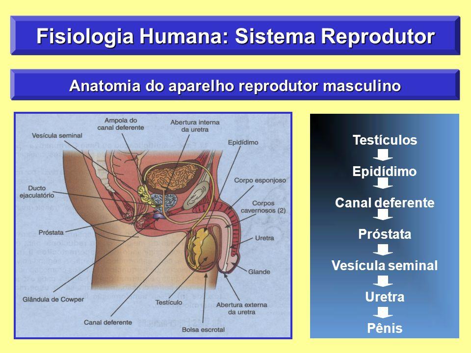 Fisiologia Humana: Sistema Reprodutor Anatomia do aparelho reprodutor masculino Testículos Epidídimo Canal deferente Próstata Vesícula seminal Uretra Pênis
