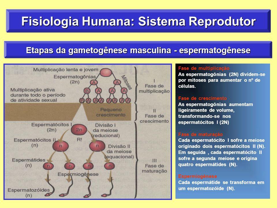 Fase de multiplicação As espermatogônias (2N) dividem-se por mitoses para aumentar o nº de células.