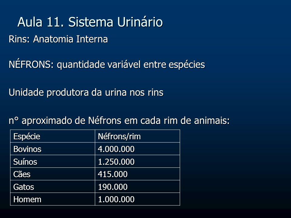Rins: Anatomia Interna NÉFRONS: quantidade variável entre espécies Unidade produtora da urina nos rins n° aproximado de Néfrons em cada rim de animais