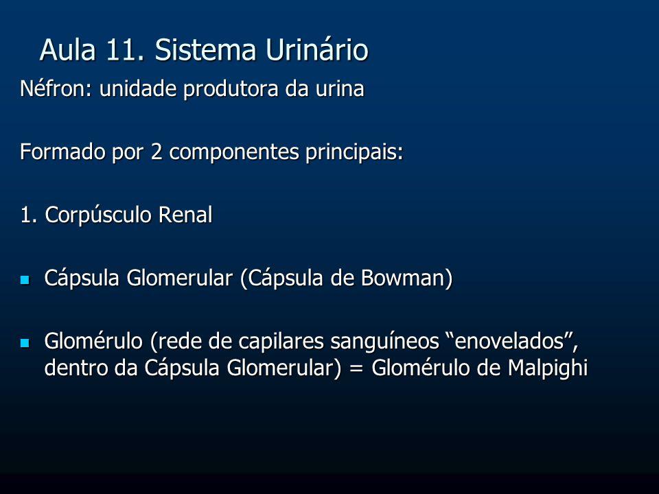 Aula 11. Sistema Urinário Néfron: unidade produtora da urina Formado por 2 componentes principais: 1. Corpúsculo Renal Cápsula Glomerular (Cápsula de