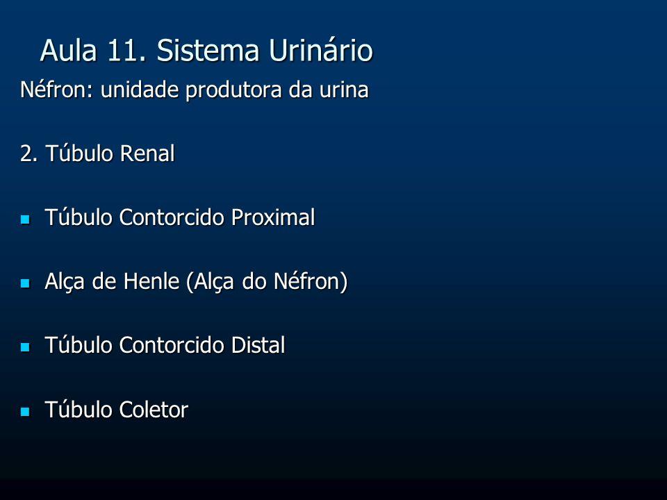 Aula 11. Sistema Urinário Néfron: unidade produtora da urina 2. Túbulo Renal Túbulo Contorcido Proximal Túbulo Contorcido Proximal Alça de Henle (Alça