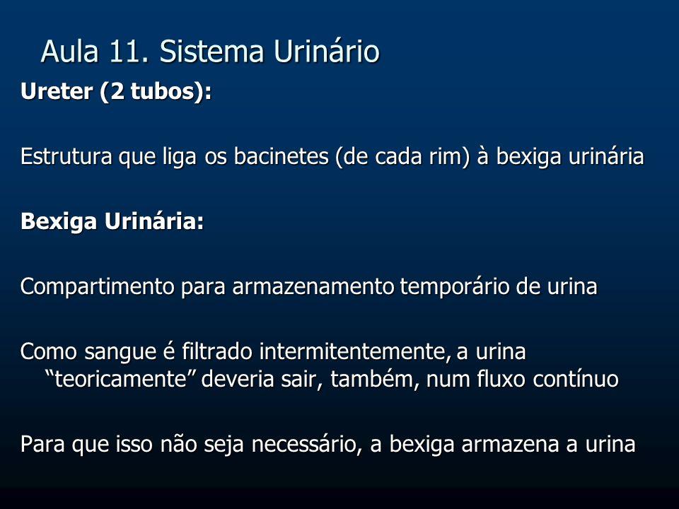 Aula 11. Sistema Urinário Ureter (2 tubos): Estrutura que liga os bacinetes (de cada rim) à bexiga urinária Bexiga Urinária: Compartimento para armaze