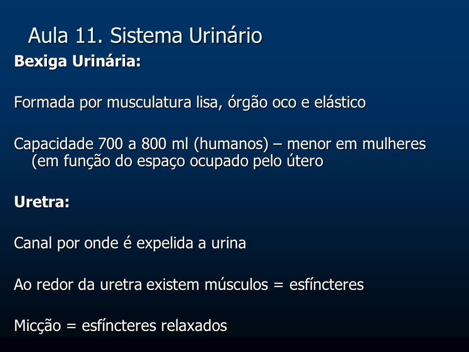 Aula 11. Sistema Urinário Bexiga Urinária: Formada por musculatura lisa, órgão oco e elástico Capacidade 700 a 800 ml (humanos) – menor em mulheres (e