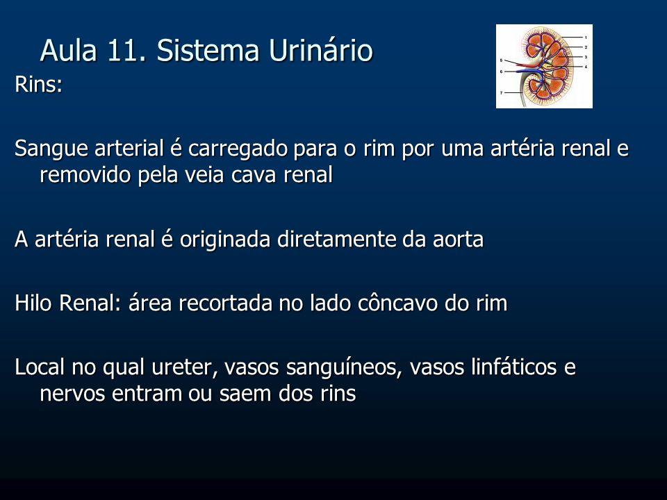 Aula 11. Sistema Urinário Rins: Sangue arterial é carregado para o rim por uma artéria renal e removido pela veia cava renal A artéria renal é origina