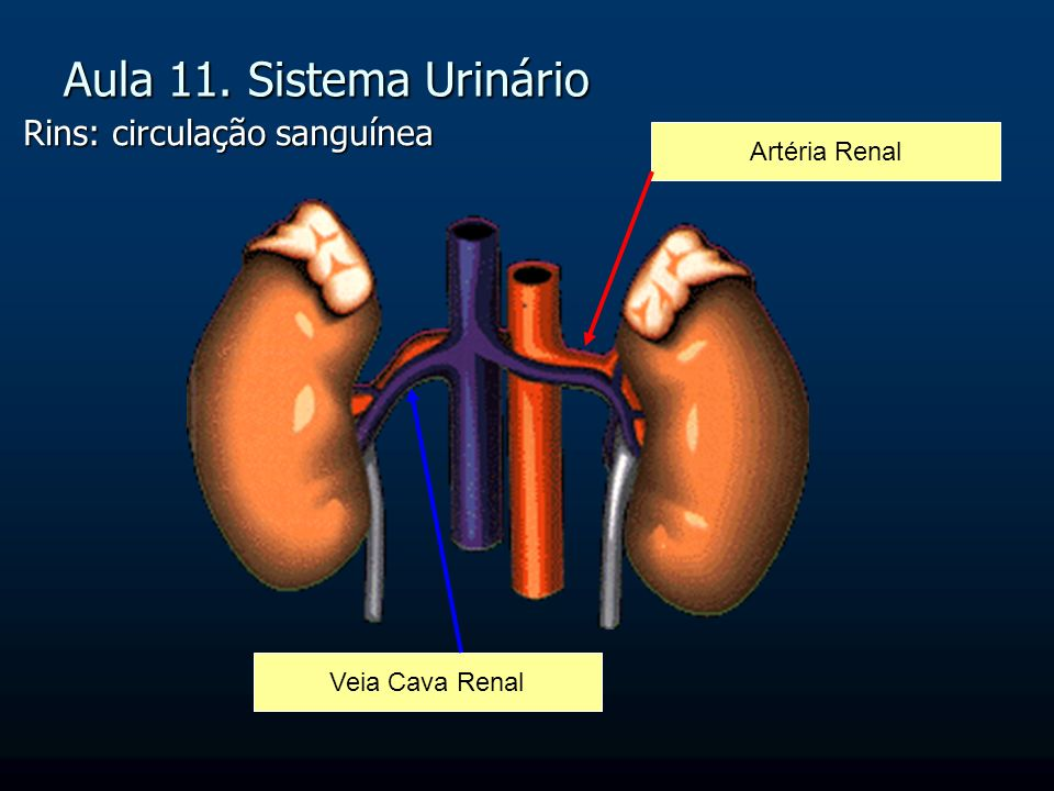 Aula 11. Sistema Urinário Rins: circulação sanguínea Artéria Renal Veia Cava Renal