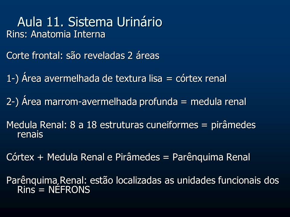 Aula 11. Sistema Urinário Rins: Anatomia Interna Corte frontal: são reveladas 2 áreas 1-) Área avermelhada de textura lisa = córtex renal 2-) Área mar