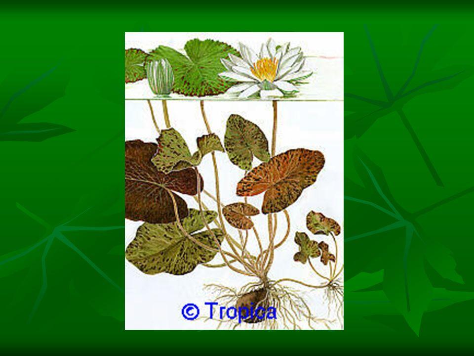 Raiz – Possui duas funções: fixar a planta ao substrato; fixar a planta ao substrato; captar água e sais minerais para a folhas.
