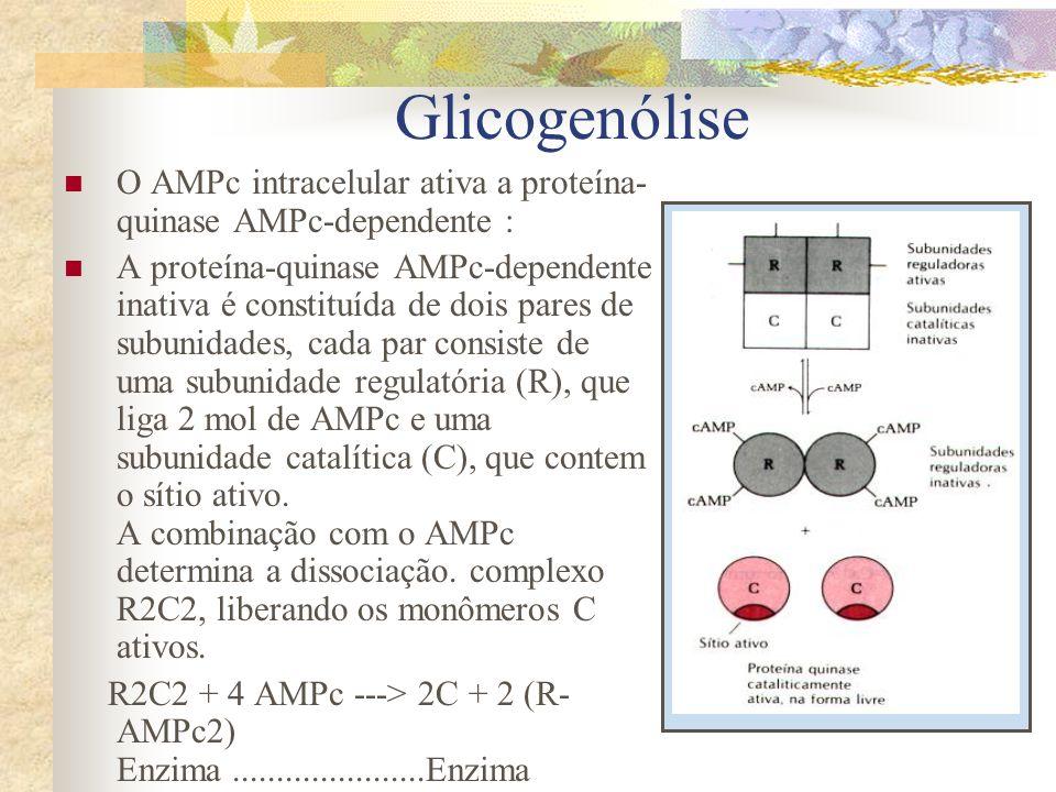 O AMPc intracelular ativa a proteína- quinase AMPc-dependente : A proteína-quinase AMPc-dependente inativa é constituída de dois pares de subunidades,