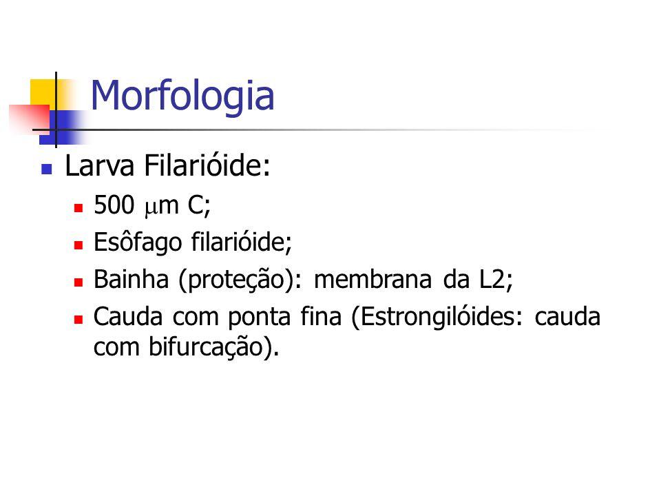Morfologia Larva Filarióide: 500 m C; Esôfago filarióide; Bainha (proteção): membrana da L2; Cauda com ponta fina (Estrongilóides: cauda com bifurcaçã