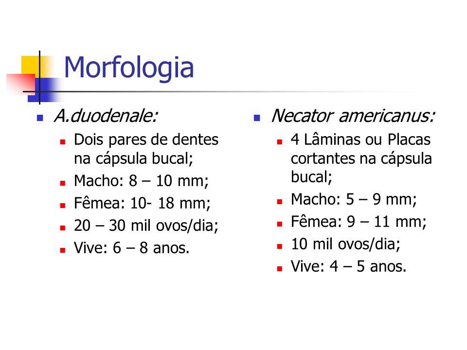 Morfologia A.duodenale: Dois pares de dentes na cápsula bucal; Macho: 8 – 10 mm; Fêmea: 10- 18 mm; 20 – 30 mil ovos/dia; Vive: 6 – 8 anos. Necator ame