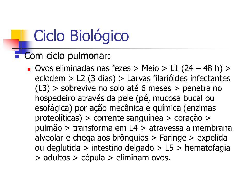 Ciclo Biológico Com ciclo pulmonar: Ovos eliminadas nas fezes > Meio > L1 (24 – 48 h) > eclodem > L2 (3 dias) > Larvas filarióides infectantes (L3) >