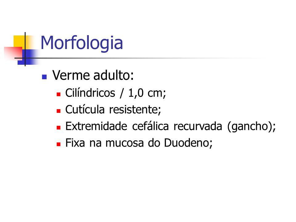 Morfologia Verme adulto: Cilíndricos / 1,0 cm; Cutícula resistente; Extremidade cefálica recurvada (gancho); Fixa na mucosa do Duodeno;