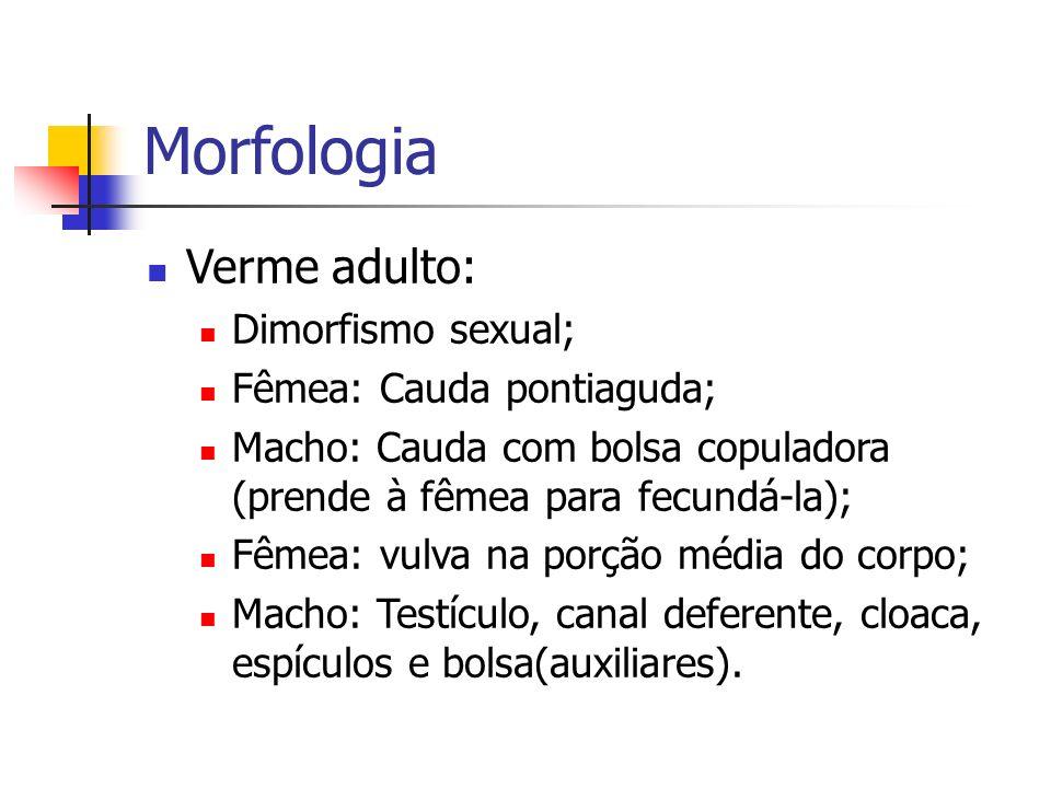 Morfologia Verme adulto: Dimorfismo sexual; Fêmea: Cauda pontiaguda; Macho: Cauda com bolsa copuladora (prende à fêmea para fecundá-la); Fêmea: vulva