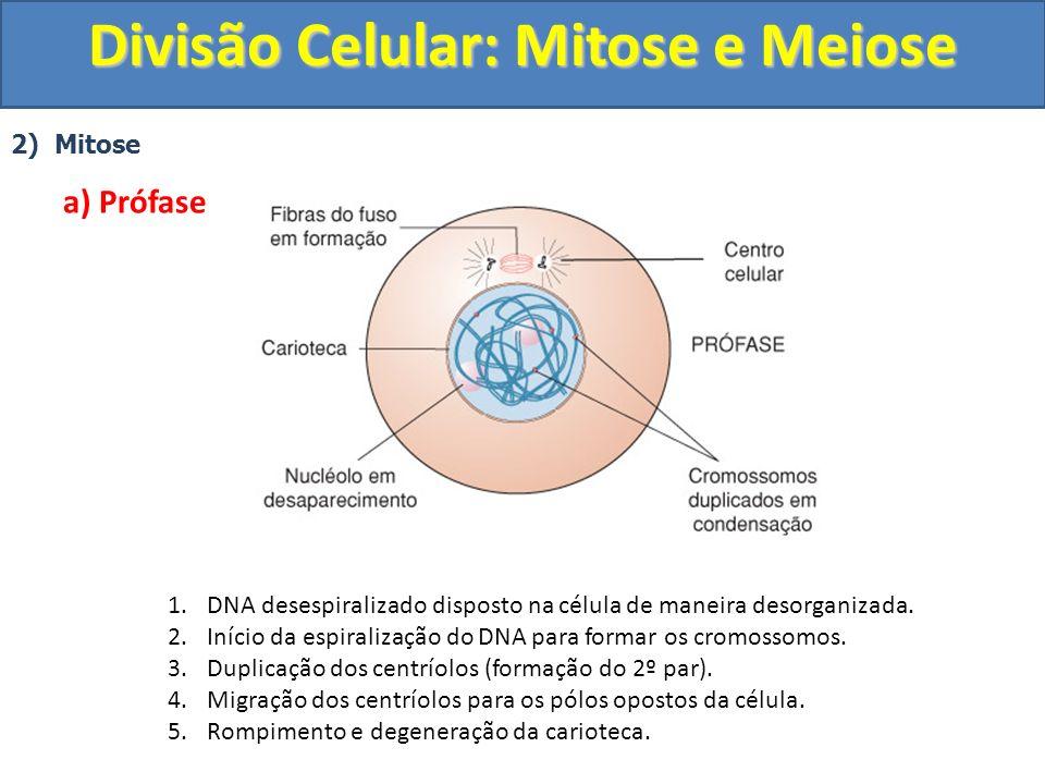 2) Mitose a) Prófase 1.DNA desespiralizado disposto na célula de maneira desorganizada.