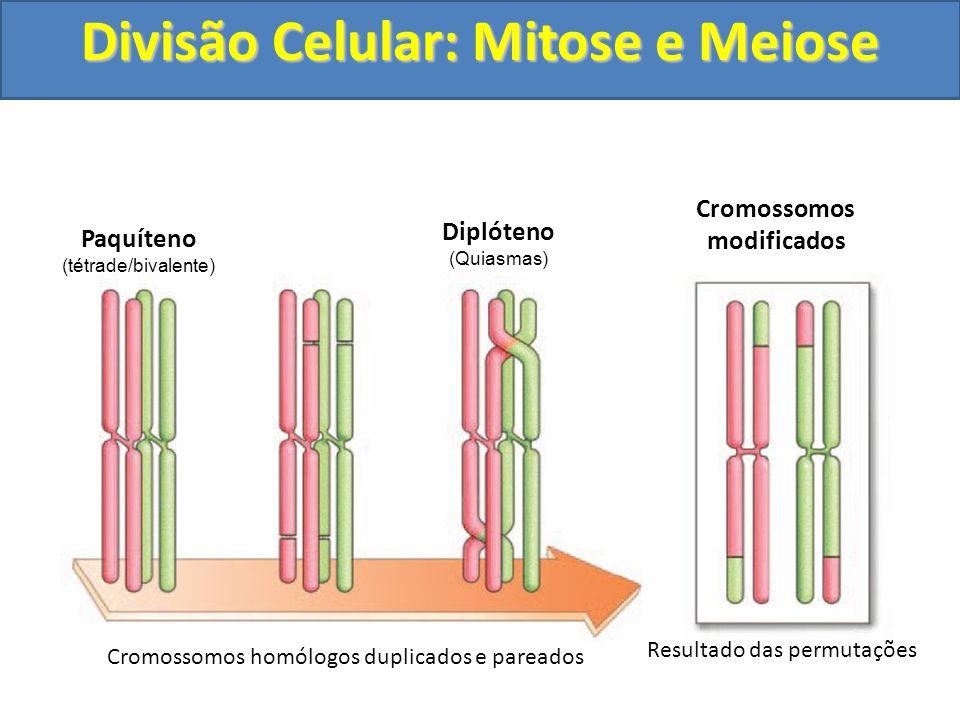 Cromossomos homólogos duplicados e pareados Resultado das permutações Paquíteno (tétrade/bivalente) Diplóteno (Quiasmas) Cromossomos modificados Divisão Celular: Mitose e Meiose
