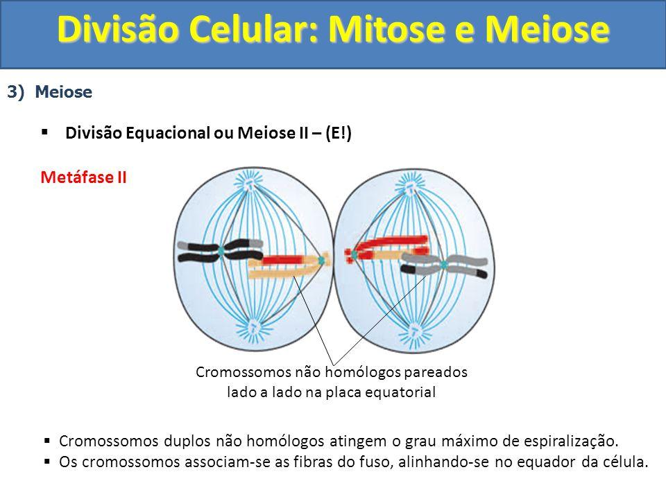 3) Meiose Divisão Equacional ou Meiose II – (E!) Metáfase II Cromossomos duplos não homólogos atingem o grau máximo de espiralização.