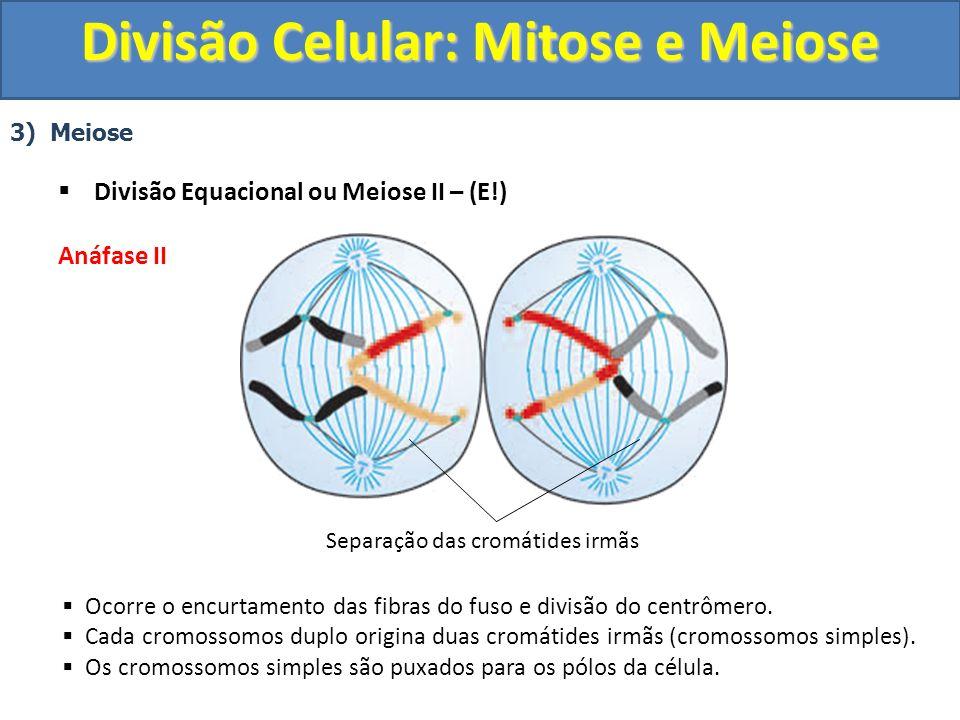 3) Meiose Divisão Equacional ou Meiose II – (E!) Anáfase II Ocorre o encurtamento das fibras do fuso e divisão do centrômero.