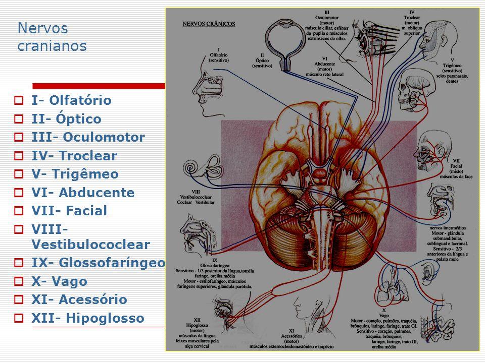 Nervos cranianos I- Olfatório II- Óptico III- Oculomotor IV- Troclear V- Trigêmeo VI- Abducente VII- Facial VIII- Vestibulococlear IX- Glossofaríngeo