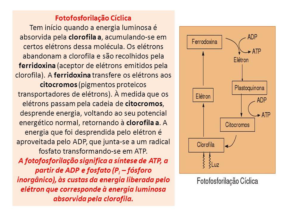 Fotofosforilação Cíclica Tem início quando a energia luminosa é absorvida pela clorofila a, acumulando-se em certos elétrons dessa molécula. Os elétro
