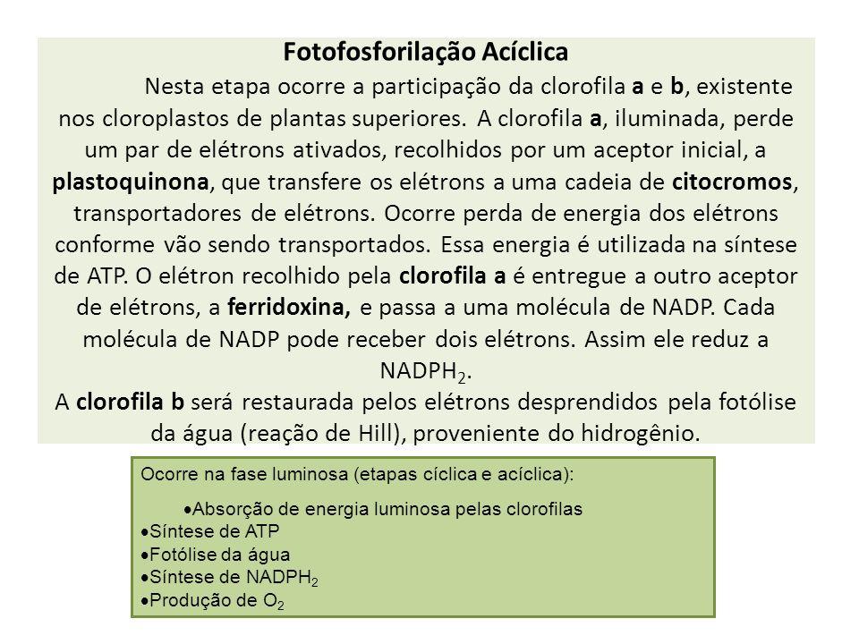 Fotofosforilação Acíclica Nesta etapa ocorre a participação da clorofila a e b, existente nos cloroplastos de plantas superiores. A clorofila a, ilumi