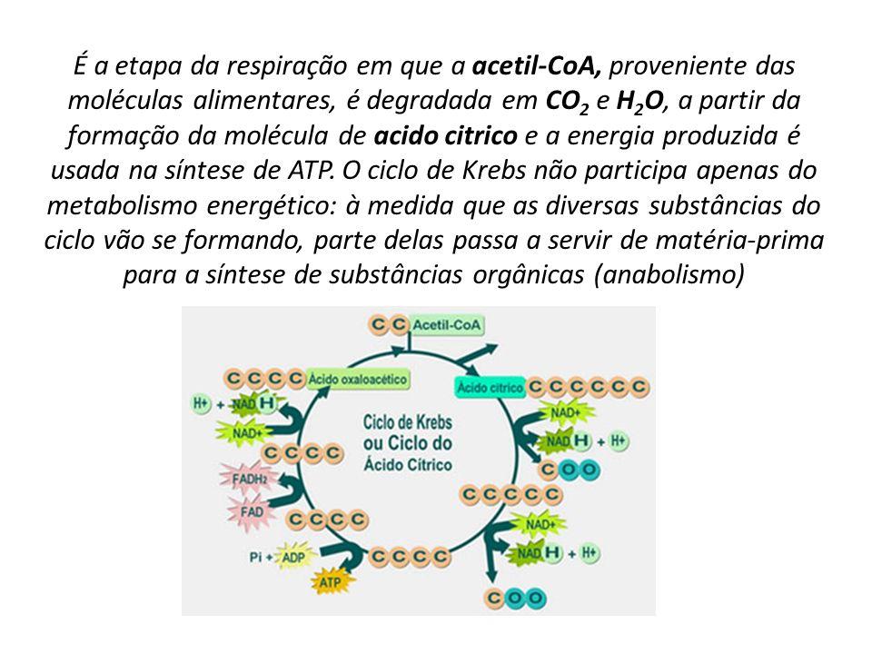 É a etapa da respiração em que a acetil-CoA, proveniente das moléculas alimentares, é degradada em CO 2 e H 2 O, a partir da formação da molécula de a