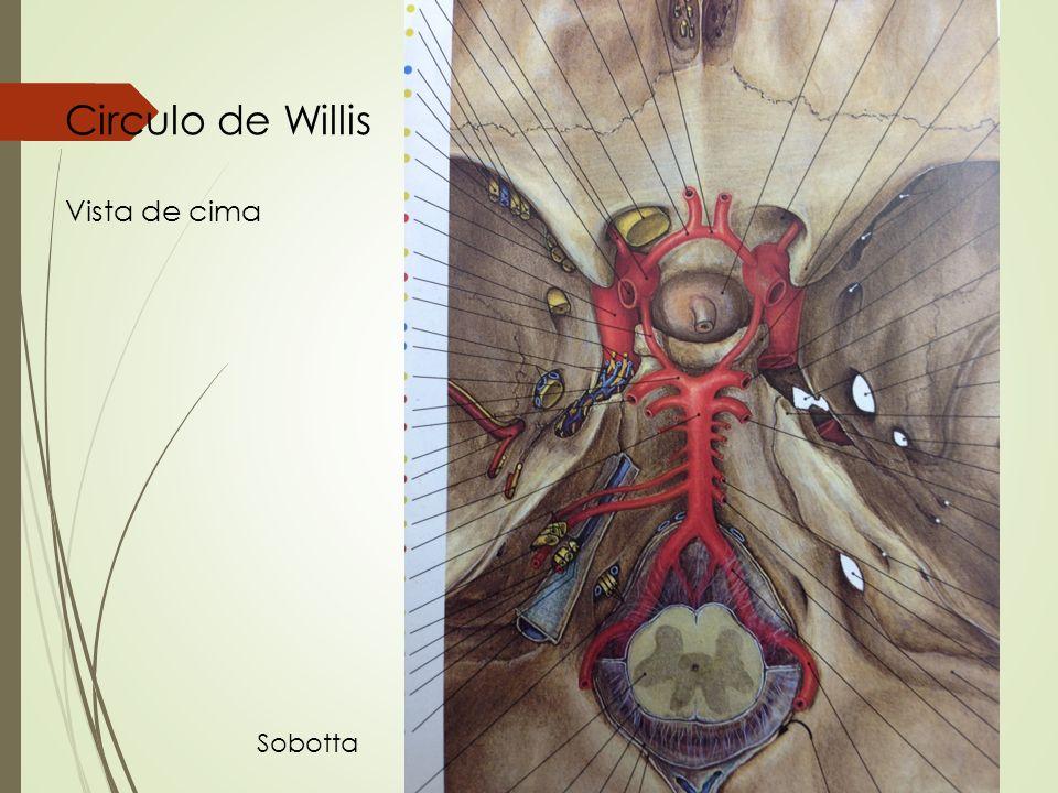 Circulo de Willis Vista de cima