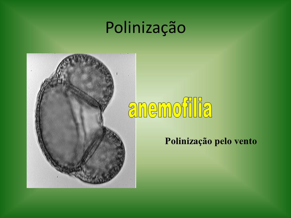 Polinização Polinização pelo vento