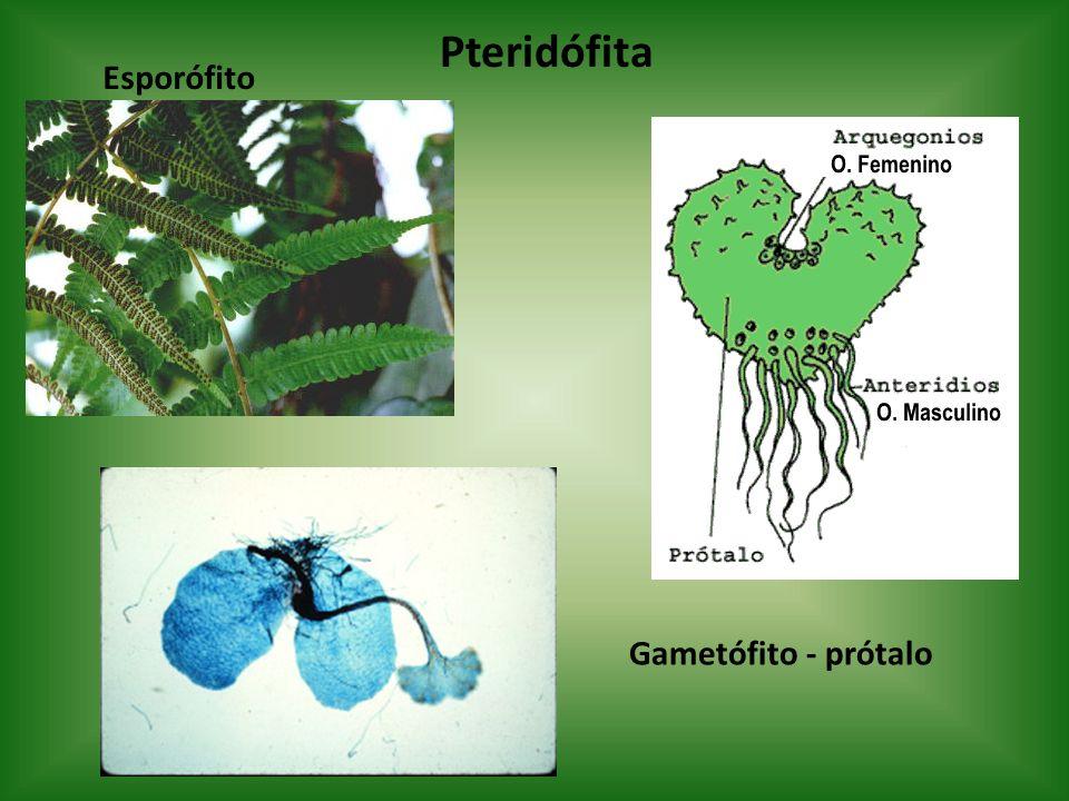 Pteridófita Esporófito Gametófito - prótalo