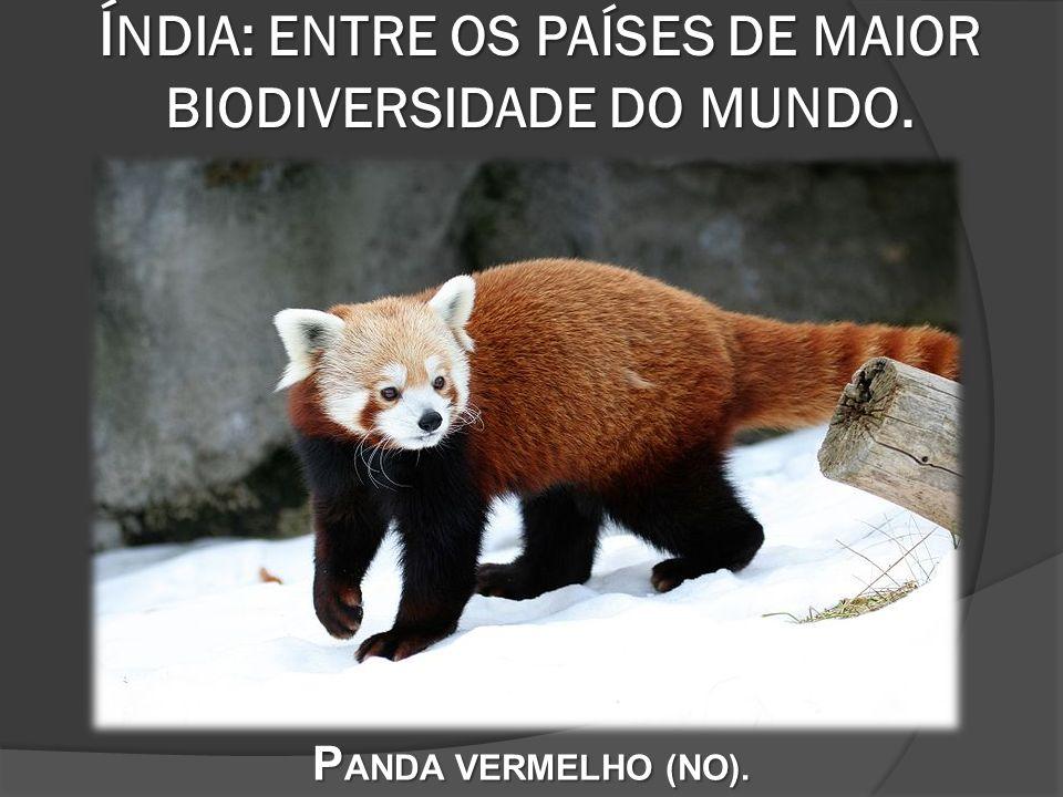 Í NDIA: ENTRE OS PAÍSES DE MAIOR BIODIVERSIDADE DO MUNDO. P ANDA VERMELHO (NO).